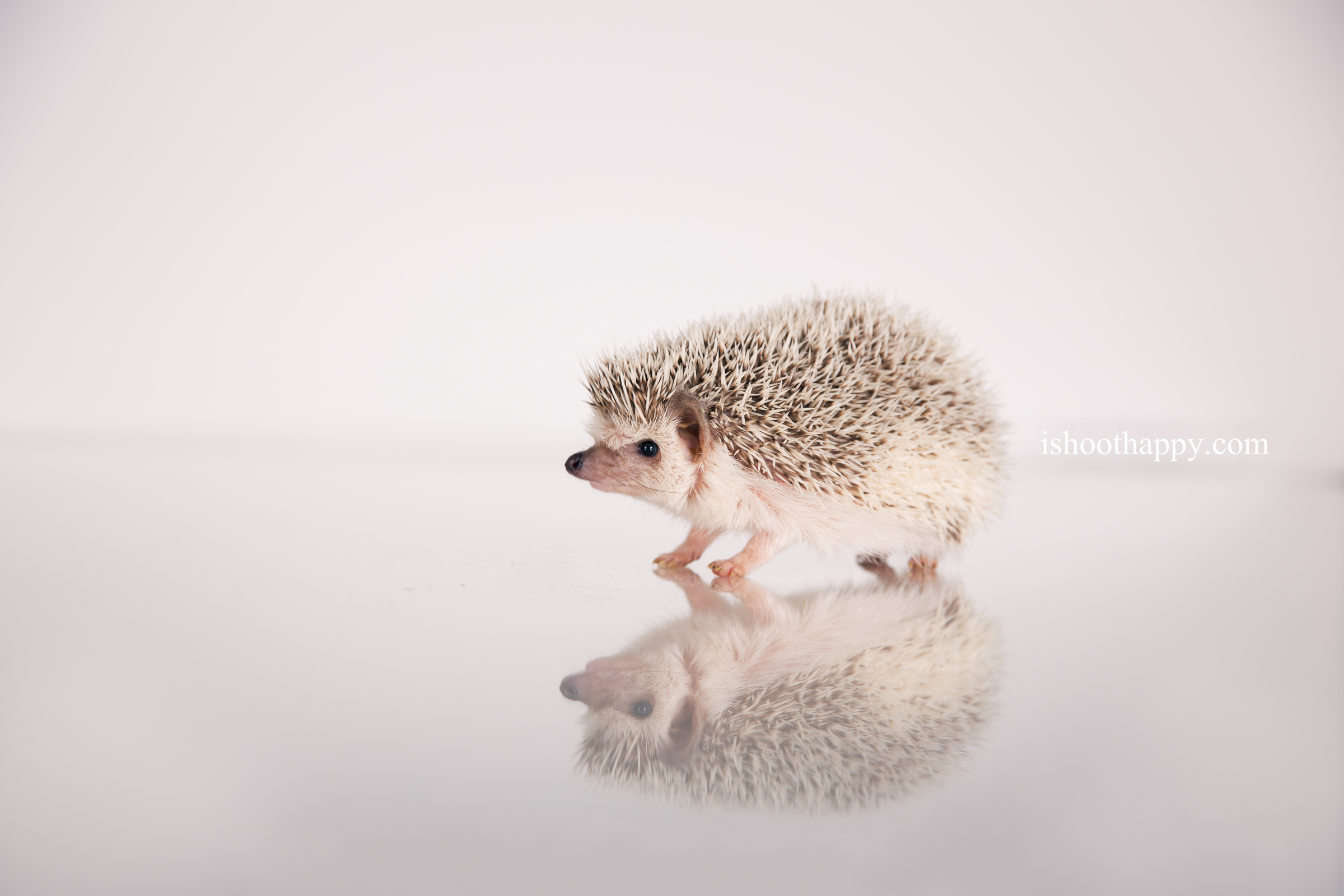 Denver Pet Photography, Denver Pet Photographer, Pet Photo, Hedgehog, Cute pet Photos, Cute Pet Photography, Pet Photographer Denver